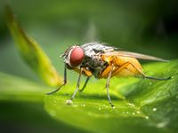 2-Honours Derek Bridel AFIAP BPE2 Annual PDI Fruit Fly Female