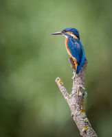 2nd Derek Bridel AFIAP BPE2 Open Kingfisher Female