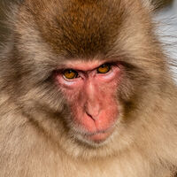 2nd Joanne Mahy ,Nature, Snow Monkey Face
