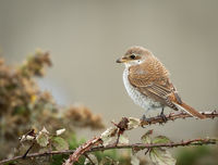 3-Merit Cindy Carre Annual PDI Red Backed Shrike