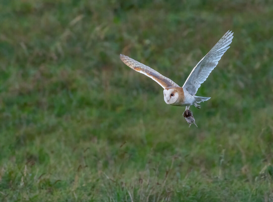 3rd= Cindy Carre , Barn Owl