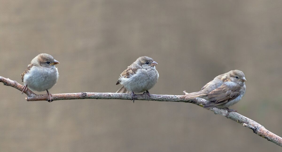 3rd David Le Prevost LRPS,Nature, Baby Sparrows