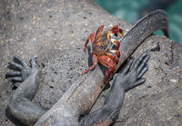 3rd Derek Bridel AFIAP, BPE2 Aquatic Life, Marine Iguana With Friend