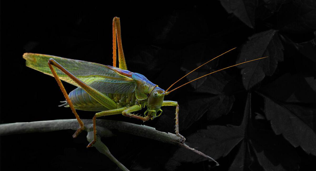 3rd Joanne Mahy ,Annual Nature PDI, Female Great Green Bush Cricket