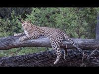 3rd Joanne Mahy  Open Leopard