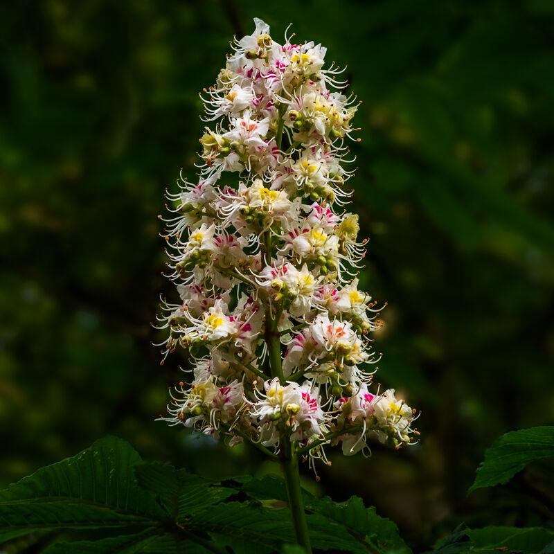 3rd= Nigel Byrom , Horse Chestnut Flowers
