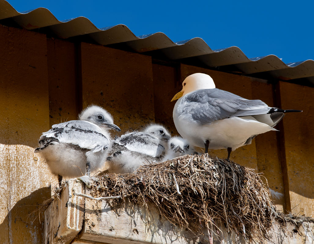 4th Anthony Le Conte Annual Nature Open PDI, Kittiwake With Chicks