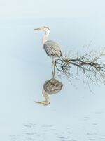 4th Berni Kerrigan ,Nature, On Reflection Just A Heron