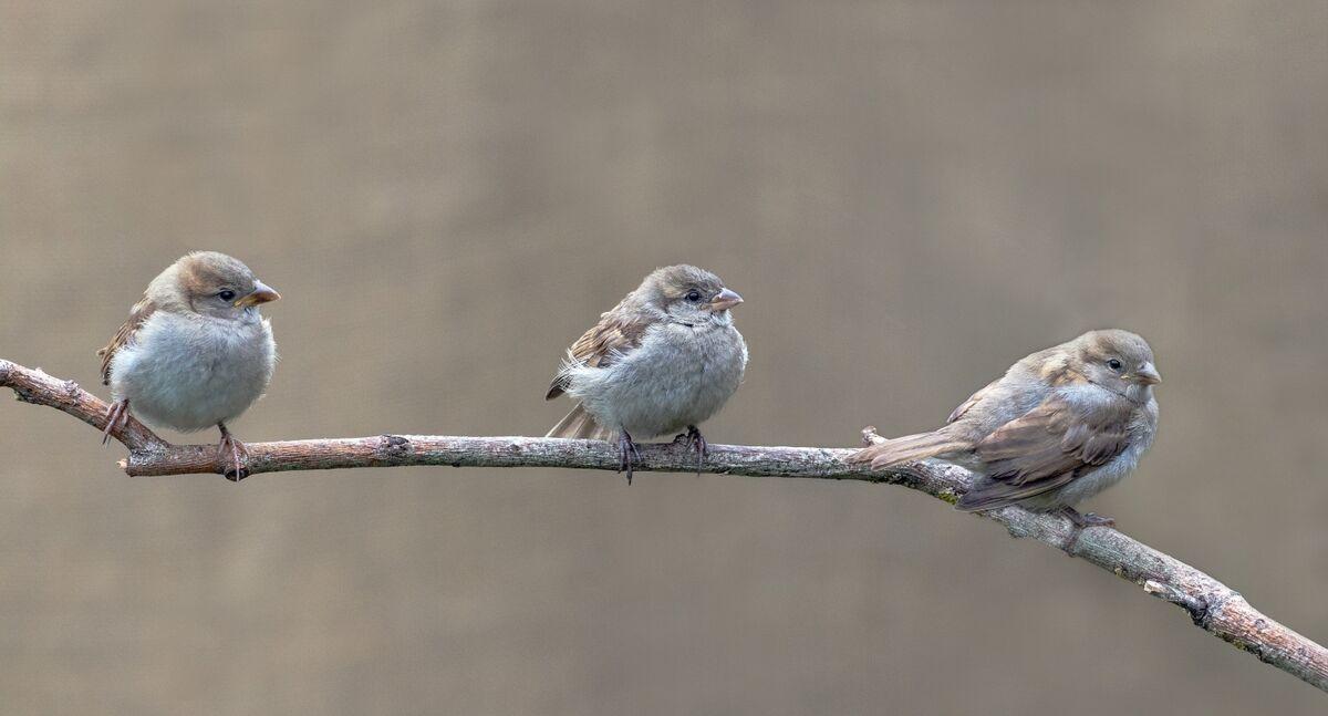 4th= David Le Prevost LRPS, House Sparrow Passer Domestics