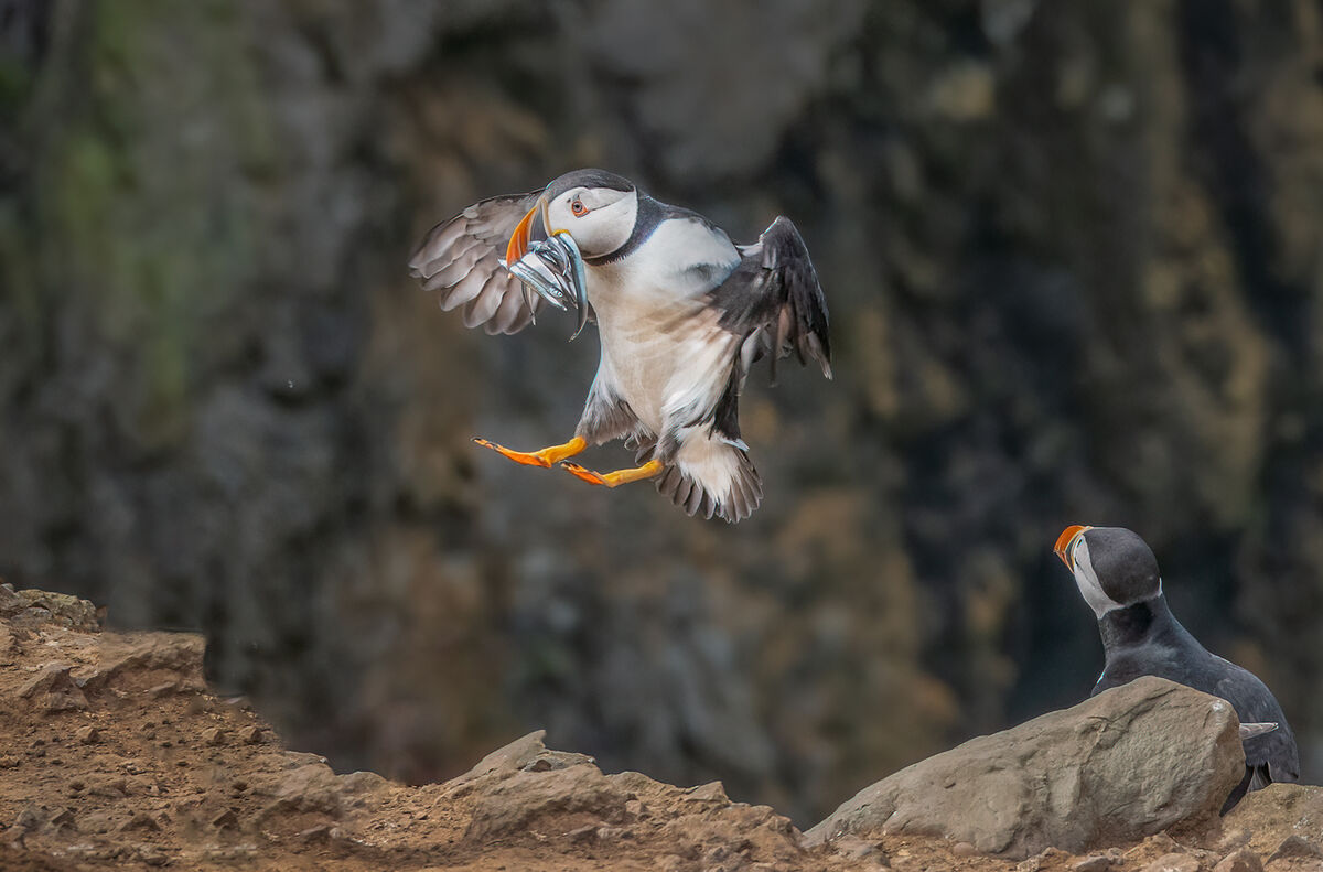 4th= Joanne Mahy ,Annual Nature PDI, Puffin Flying