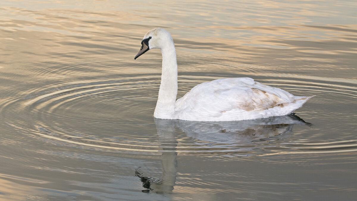 4th Martyn Elliston Aquatic Life, Swan