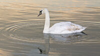 4th Martyn Elliston Aquatic Life, Swan