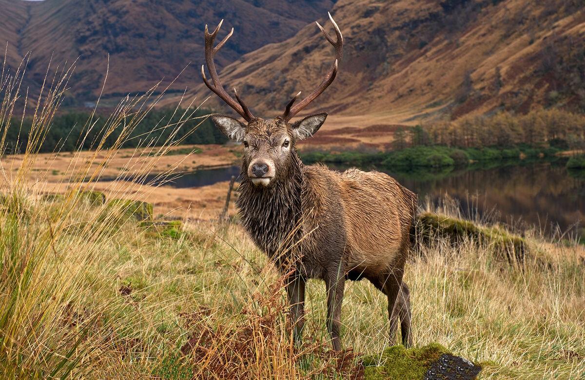 4th= Martyn Elliston LRPS,Open Print, Glencoe Deer