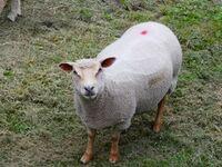 Abigail Panganayi ,Macro-Closeup, Sheep In Pasture