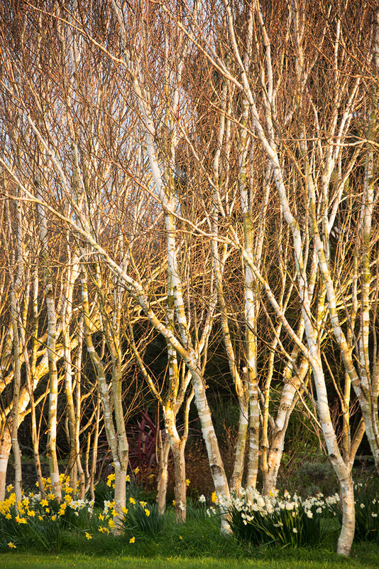 Anthony Le Conte  ,In Your Garden, Himalayan Birch Trees