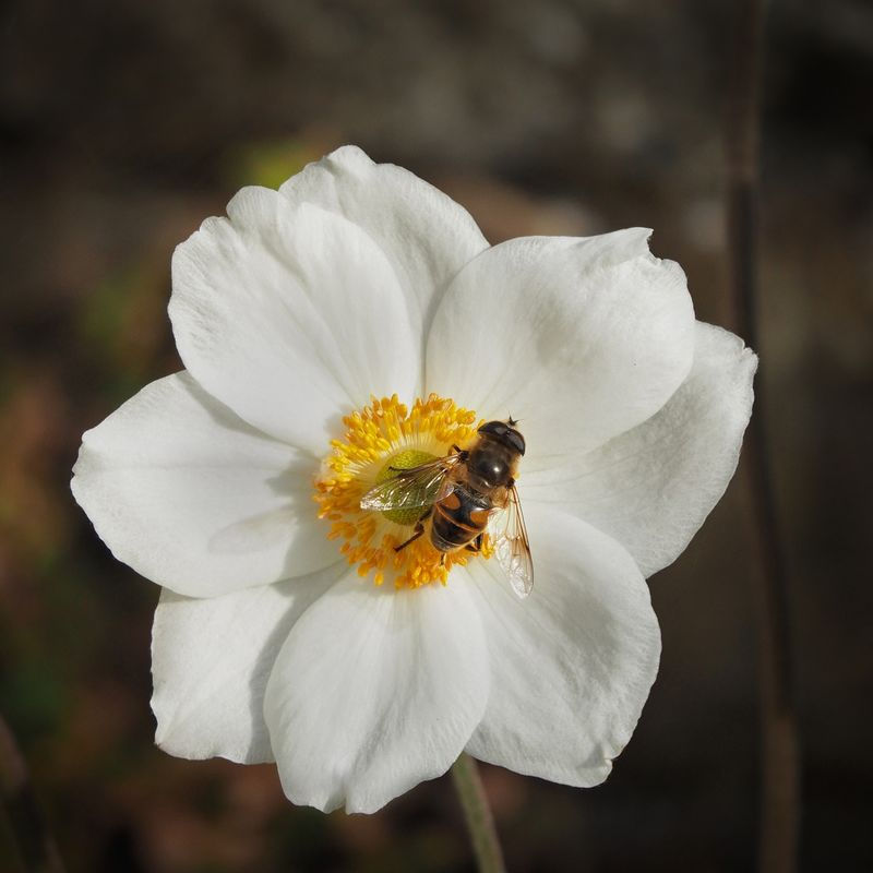 Brian Johnson  , Annual Nature Open PDI, Fly On Japanese Anenome
