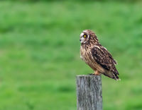 Cindy Carre Annual PDI Short Eared Owl