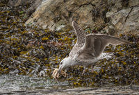 Cindy Carre Annual PDI  Herring Gull