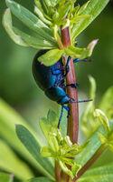 Cindy Carre ,Macro-Closeup, Bloody Nosed Beetle