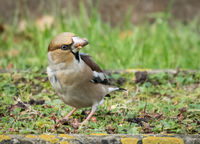 Cindy Carre Open Hawfinch