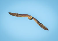 Cindy Carre Open  Kestrel in Flight