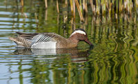 Cindy Carre , Patterns, Garganey