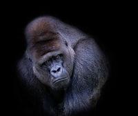 Colour Pictorial Print Honours Alan Robilliard Gorilla