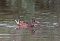 David Le Prevost  LRPS Aquatic Life, Shoveler Duck