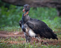 Derek Bridel AFIAP, BPE2,Nature, Black Vulture