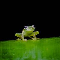 Derek Bridel AFIAP, BPE2,Open 2021 PDI, Glass-eyed Frog