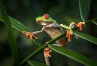 Derek Bridel AFIAP, BPE2,Open, Red-eyed Tree Frog