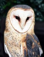 Derek Tostevin DPAGB, BPE1,Macro-Closeup, Owl