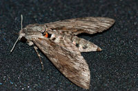 Derek Tostevin DPAGB, BPE1, Winged Animals, Convolvulas Hawk Moth