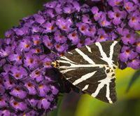 Godfray Guilbert , Patterns, Tiger Moth On Buddleia