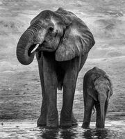 Joanne Mahy ,Nature, Elephant With Baby