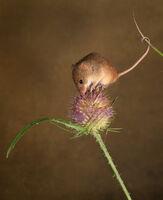 Joanne Mahy ,Open 2021 PDI, Autumn Harvest Mice On Thistle