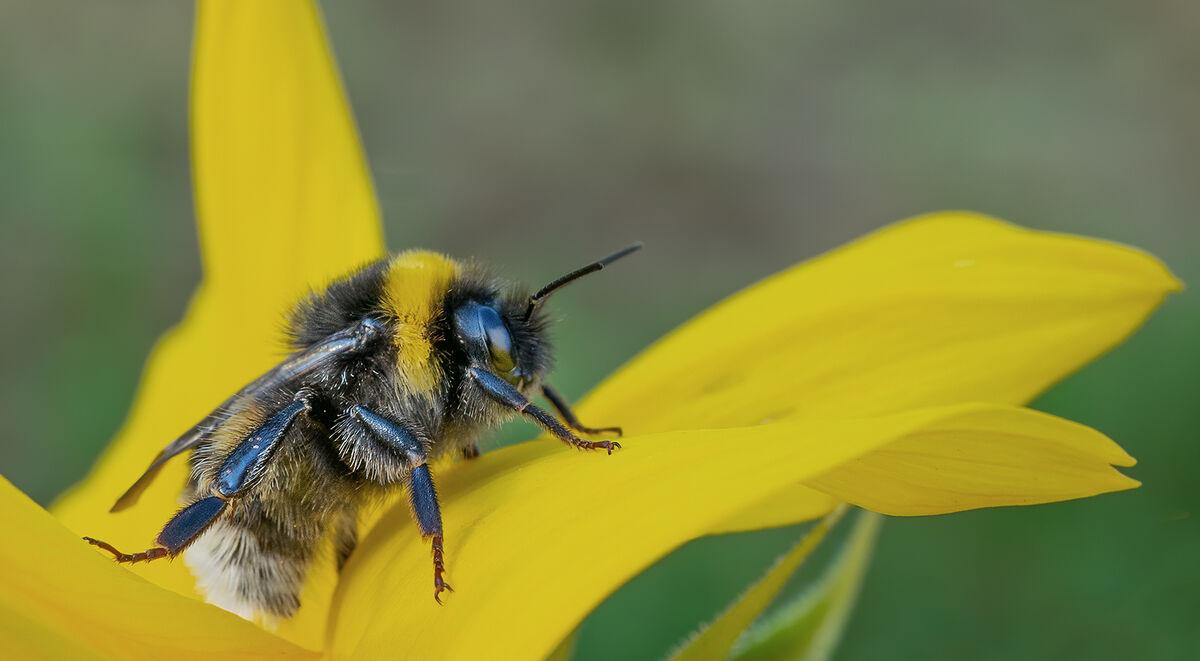 Joanne Mahy , Bee In Sunflower
