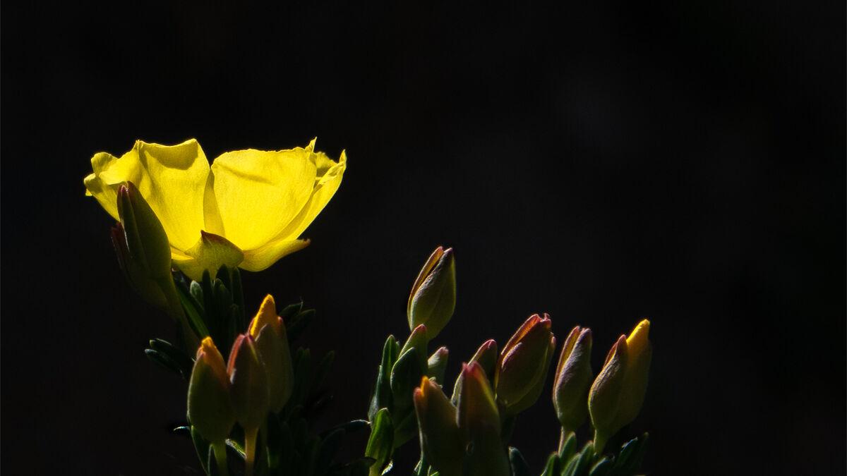 Joanne Mahy  ,In Your Garden, Yellow Flower