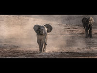 Joanne Mahy  Open Baby Elephant And Mother