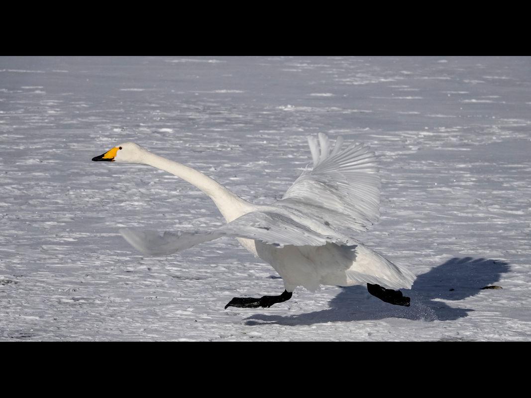 Joanne Mahy , Winged Animals, Swan Taking Off