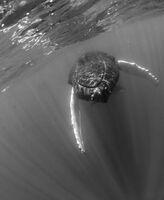 Joanne Mahy   Aquatic Life, Whale