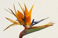 Martyn Elliston ,Macro-Closeup, Bird Of Paradise Flower