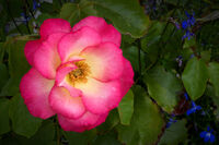 Martyn Elliston ,Macro-Closeup, Birthday Girl Rose
