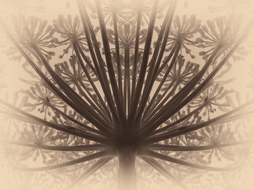 Nigel Byrom ,Macro-Closeup, Wild Fennel
