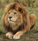 YWP Lion 2