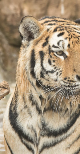 Soggy Tiger