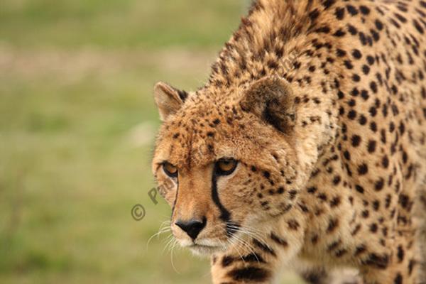 WHF Male Cheetah 1