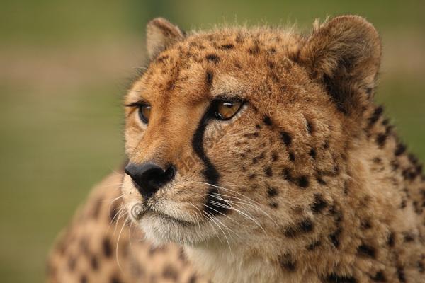 WHF Male Cheetah 4