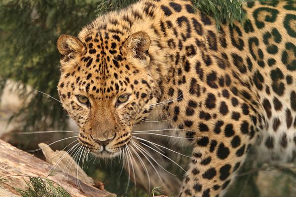 WHF Male Amur Leopard 1