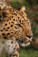WHF Male Amur Leopard 2